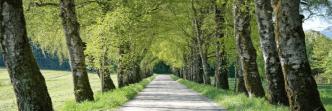 alberi betulle